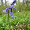 Bluebells in King's Wood, Ampthill
