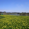 Daffodils by the River Dee, Aberdeen