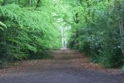 Footpath through beeches, Windlesham
