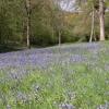 Bluebells in Yatton Wood