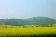 Sea of yellow near Folkington