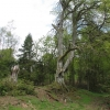 One beech tree left