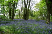 Bluebells in North Wood, near Featherstone castle