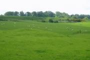 Sheep grazing, Clarilaw