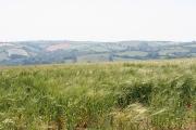 Tiverton: field of barley