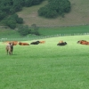 Cows in Field at Catacol.