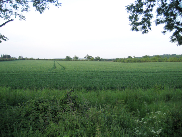 Winter wheat from High Road, Cotton End, Beds