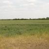 Wheat field by Sandford Brake