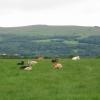 Cattle resting Lower Ledrishbeg Farm, Balloch.