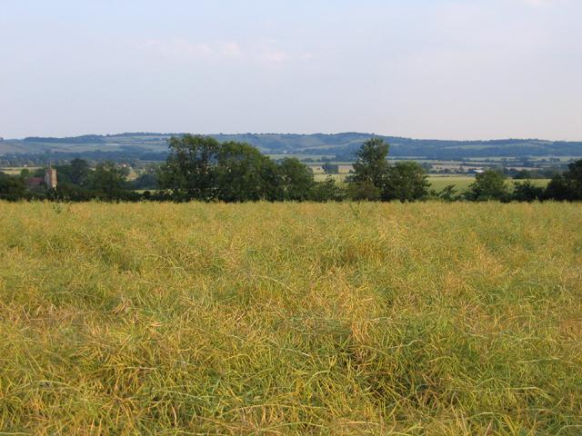 Oilseed rape field, Upper Gravenhurst, Beds