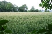 Ripening wheat near Shingle Barn Farm