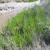 Marsh samphire