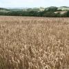 South Tawton: towards Powlesand
