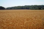 Wheat, Squirrel Lane