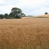 Crediton Hamlets: wheat field