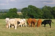 Farmland and cows near Littlemoor