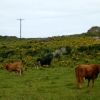 Cattle on the Rhins of Islay