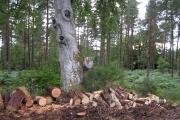 Cut Wood in Belladrum Forest