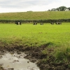 Field of Belted Galloways
