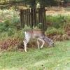 Dunhan Massey Deer park