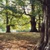 Amongst the beech trees, Dunham Massey