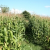 Yarcombe: footpath through maize