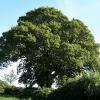 Membury: oak tree