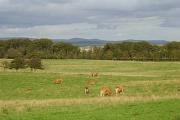 Cattle, Cranley