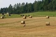Deer running across farmland