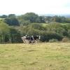 Burscott, with cattle