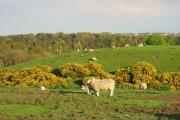 Spring lambs at Urpeth